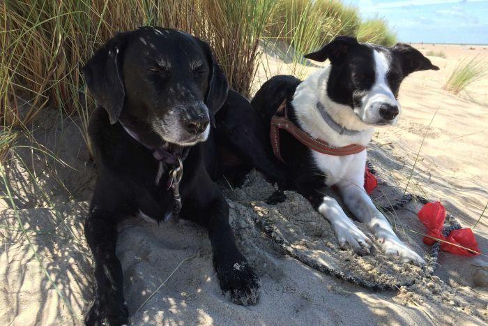 Un chien noir et noir et blanc assis à l'ombre des plantes sur une plage