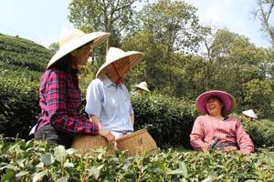 cueillir des feuilles de thé avec la population locale