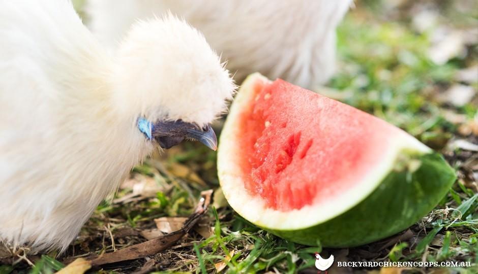 silkie-poulet-manger-pastèque-à-garder-cool