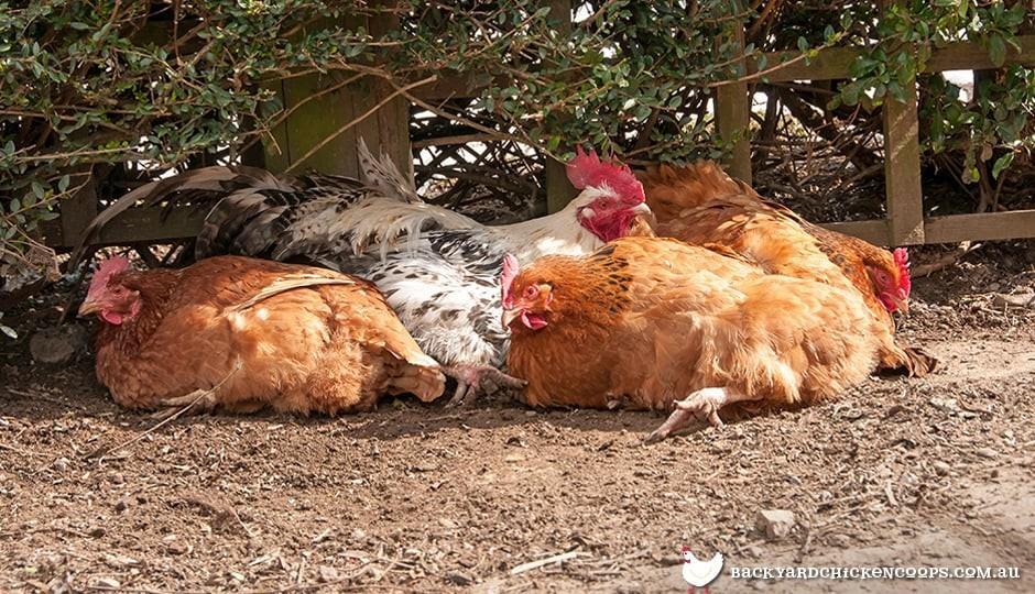 les poules trouvent une poussière confortable se baignant à l'ombre par une journée chaude
