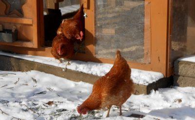 secrets de poules de basse-cour