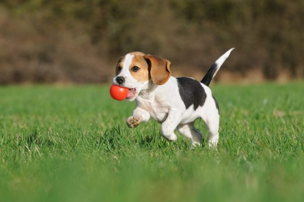 Société de garde chien GA