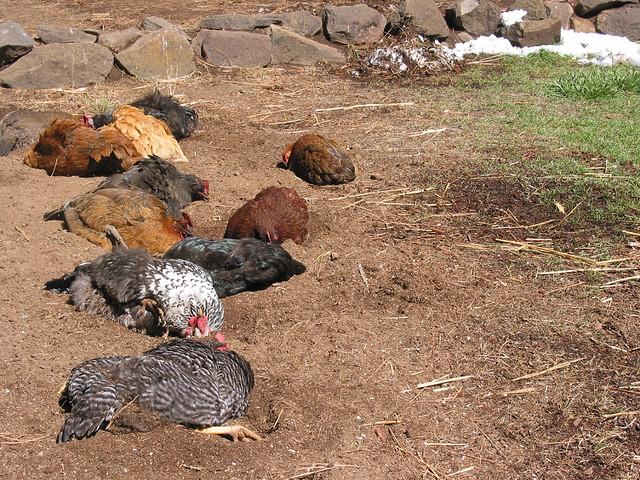 bain de poussière pour les poulets