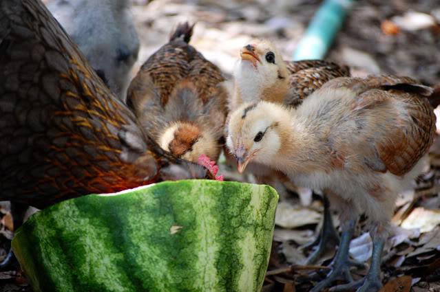 nourriture pour les poulets