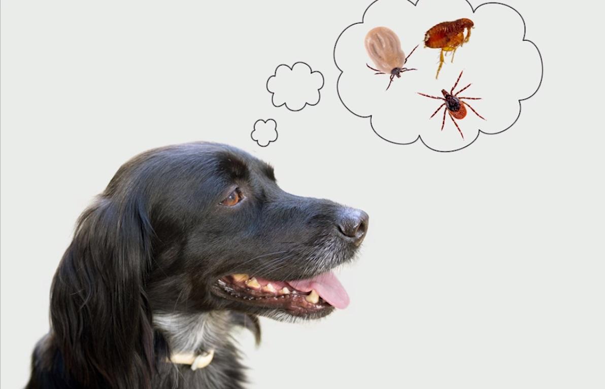 Assurez-vous que votre chien est protégé contre les tiques et les moustiques
