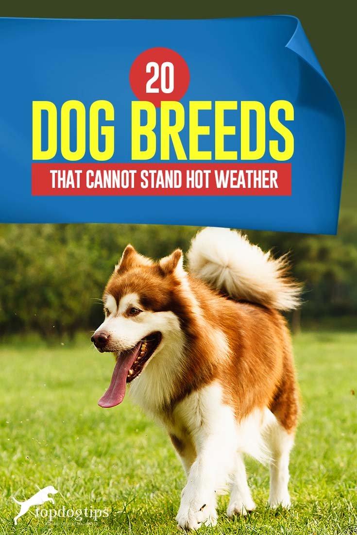 Les 20 races de chiens qui ne font pas bien par temps chaud