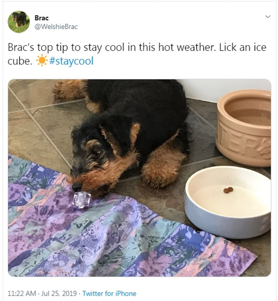 Brac the Welsh Terrier was pictured by his owner licking an ice cube in a desperate bid to stay cool