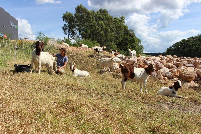 Avec des visites répétées de son «troupeau à louer», Elizabeth dit que la guerre contre les mauvaises herbes peut être gagnée. Photo: Ian Campbell