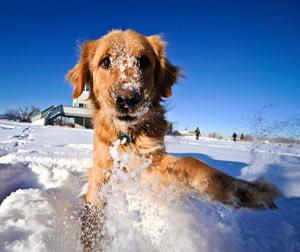 """Gardez votre chien arthritique plus à l'aise pendant l'hiver. """"Align ="""" right """"class ="""" articleimage"""