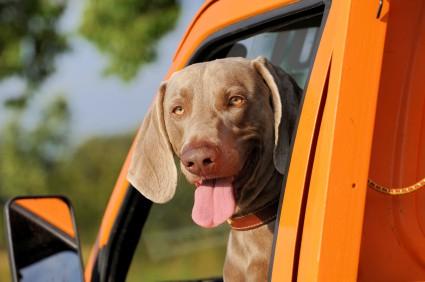 "Dog in Car ""width ="" 600 ""height ="" 398 ""srcset ="" https://www.ecobrumi.fr/wp-content/uploads/2020/03/Conseils-pour-voyager-seul-avec-un-animal-de-compagnie.jpg 425w, https://ksk132dvocz3814ql108etk1-wpengine.netdna-ssl.com/wp-content/uploads/2012/05/Dog-in-Car-300x200.jpg 300w, https://ksk132dvocz3814ql108etk1-wpengine.netdna-ssl.com/w -contenu / téléchargements / 2012/05 / Dog-in-Car-250x165.jpg 250w ""tailles ="" (largeur max: 600px) 100vw, 600px"