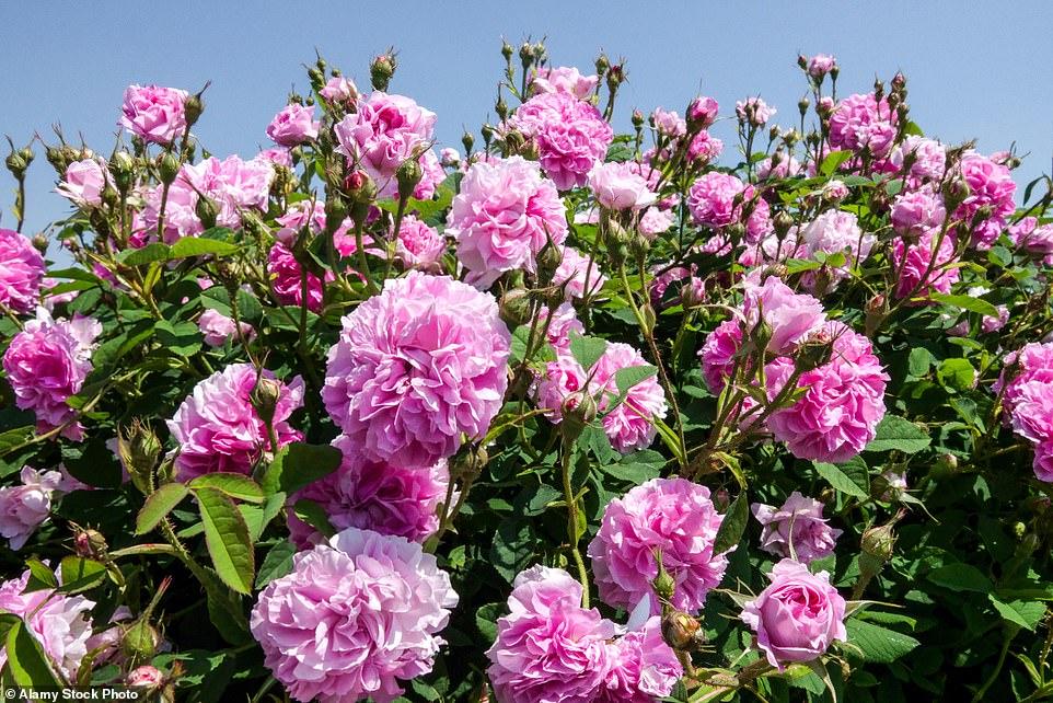 Sans l'élagage, la subsistance et la vigilance appropriés pour éliminer les problèmes potentiels, les roses peuvent si mal fonctionner qu'elles mériteront à peine un deuxième regard